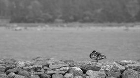 Photo noire et blanche de platyrhynchos d'ana de Mallard Images libres de droits