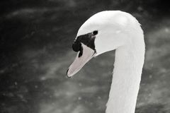 Photo noire et blanche de tête de cygne photographie stock