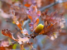 Photo Oak branch with acorns in the fall Royalty Free Stock Images