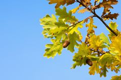 Photo of an oak with a detail of leaves and glaze under the suns Stock Image