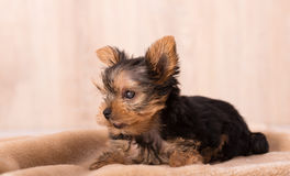 Photo Of A Blind Yorkshire Terrier Royalty Free Stock Images