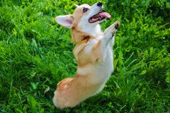 Free Photo Of An Emotional Dog. Cheerful And Happy Dog Breed Welsh Corgi Pembroke Stock Images - 157251594