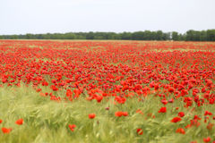Photo Of Beautiful Red Poppies Royalty Free Stock Photos