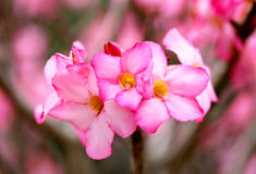 Free Photo Of Bright Pink Spring Flowers Stock Photo - 85641480