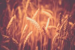 Free Photo Of  Ears On The Beautiful Wheat Field Toned In Retro Vintage Style Royalty Free Stock Photos - 142929768