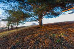 Photo of old big pine tree on hill of meadow. At sunset Royalty Free Stock Photography