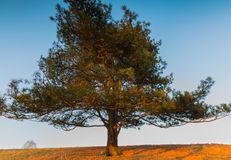 Photo of old big pine tree on hill of meadow. At sunset Royalty Free Stock Images