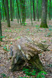 Photo of an old stump in a green forest. Photo of an old stump in a green beautiful forest Stock Image
