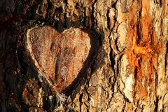 Photo of old tree trunk with heart carved on it. Valentine's day concept. Romantic background. Photo of old tree trunk with heart carved on it. Valentine&# stock photos