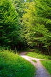 Photo of an old trees with road in a green forest. Photo of an old trees with road in a green beautiful forest Stock Photos