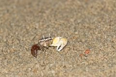 Fiddler Crab Royalty Free Stock Photo