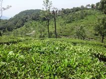 Very long view of tea garden ooty,india. This photo is from of ooty tea garden, while i have visited to ooty, india. this is a tea garden from ooty, india Stock Image