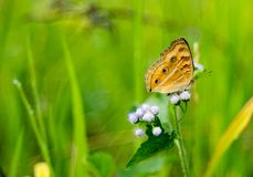 An orange butterfly on ageratum grass flower. Photo of an orange butterfly on ageratum grass flower taken with nikon d3200 and fujinon 55mm lens royalty free stock photography