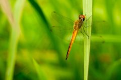 An orange dragonfly on green grass. Photo of an orange dragonfly on a green grass taken with nikon d3200 and fujinon 55mm lens stock photography