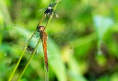 Sideview of an orange dragonfly. Photo of an orange dragonfly taken with with nikon d3200 and fujinon 55mm lens royalty free stock photos