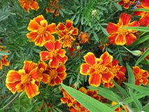 Orange Flowers in the Summer Garden. Photo of orange flowers in a summer garden during mid september Stock Photo