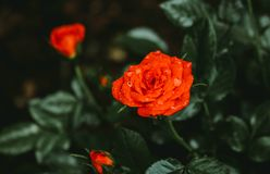 Photo of Orange Petaled Flower With Dew Drops royalty free stock photos