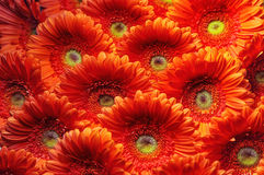 Photo of orange and red gerberas, macro photography and flowers background Royalty Free Stock Photo