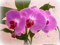 Beautiful bunch of pink Orchid flowers royalty free stock photography