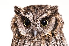 Photo of an Owl in macro photography, high resolution photo of owl cub. The bureaucratic owl, also called field-buckthorn, field stock photo