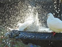 Doves in fountain having bird bath. Photo of pair of doves in fountain having an evening bath in a kent park whitstable 5th may 2018 royalty free stock image