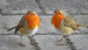 Pair of friendly robins. Photo of a pair of friendly robins coming to pose for the camera! taken feb 27th 2018 Royalty Free Stock Photos
