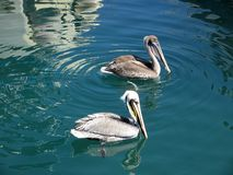 Pair of Pelicans. Photo of pair of pelicans in acapulco mexico. These birds are always on hand to feed on scraps of fish left over from fish cleaning royalty free stock photo