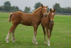 Suffolk Punch foals. Photo of a pair of Suffolk punch foals playing in an open paddock royalty free stock photos