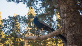 Photo of peacock sitting on the tree Stock Images