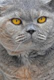 Pedigree british shorthair cat face profile. Photo of a pedigree cat face profile showing details to eyes and nose april 2018 Royalty Free Stock Image