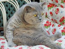 Pedigree british shorthair cat resting on chair Stock Images