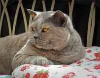 Luxury rest for pedigree british shorthair cat stock image