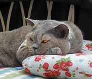 Luxury rest for pedigree british shorthair cat stock photo