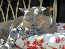 Luxury rest for pedigree british shorthair cat royalty free stock photography
