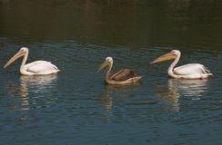 Pelicans swimming in the Tevere river. Photo of pelicans swimming in the Tevere river Royalty Free Stock Photos