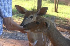 Photo of Person Feeding Two Deers Royalty Free Stock Photo
