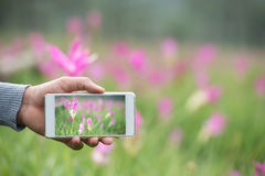 Photo on the phone Siam tulips in thailand. Photo on the phone, the person man photographed on a smartphone from the side. Siam tulips rainy season,vacation Royalty Free Stock Photo
