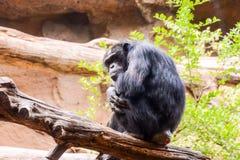 Black Chimpanzee Ape Mammal Animal. Photo Picture of Black Chimpanzee Ape Mammal Animal royalty free stock photos