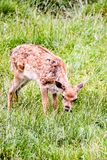 Cute spotted fallow. Photo PIcture of a Cute spotted fallow deer Stock Photography