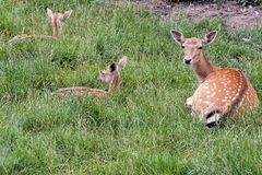 Cute spotted fallow. Photo PIcture of a Cute spotted fallow deer Royalty Free Stock Photos