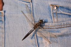 Dragonfly Anax imperator. Photo Picture of a Dragonfly Anax imperator Stock Image