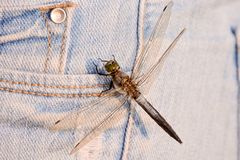 Dragonfly Anax imperator. Photo Picture of a Dragonfly Anax imperator Stock Photos