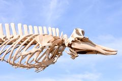 Whale Mammal Skeleton. Photo Picture of the Dry Whale Mammal Skeleton royalty free stock image