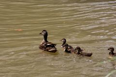 Flock of Mallard Ducks Swimming in the Lake. Photo picture Flock of Mallard Ducks Swimming in the Lake Stock Photo