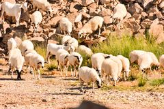 Flock of sheep. Photo picture flock of sheep in central spain royalty free stock photography