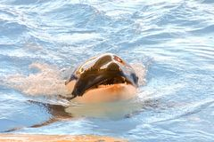 Mammal Orca. Photo Picture of a Mammal Orca Killer Whale Fish Stock Image