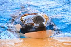 Mammal Orca Killer Whale Fish. Photo Picture of a Mammal Orca Killer Whale Fish royalty free stock photo
