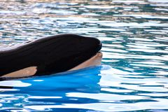 Mammal Orca Killer Whale Fish. Photo Picture of a Mammal Orca Killer Whale Fish stock image