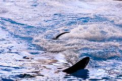 Mammal Orca Killer Whale Fish. Photo Picture of a Mammal Orca Killer Whale Fish stock photo