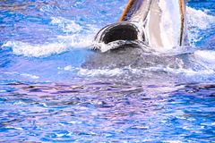 Mammal Orca Killer Whale Fish. Photo Picture of a Mammal Orca Killer Whale Fish royalty free stock images